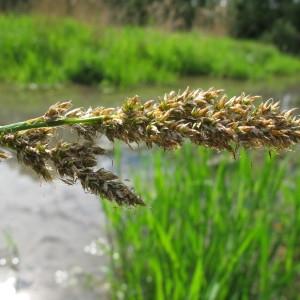 Carex paniculata L. (Laiche panicul�e)