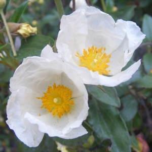 Cistus laurifolius L. (Ciste � feuilles de laurier)
