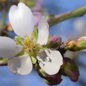 Patrice GIRAUDEAU - Prunus dulcis (Mill.) D.A.Webb