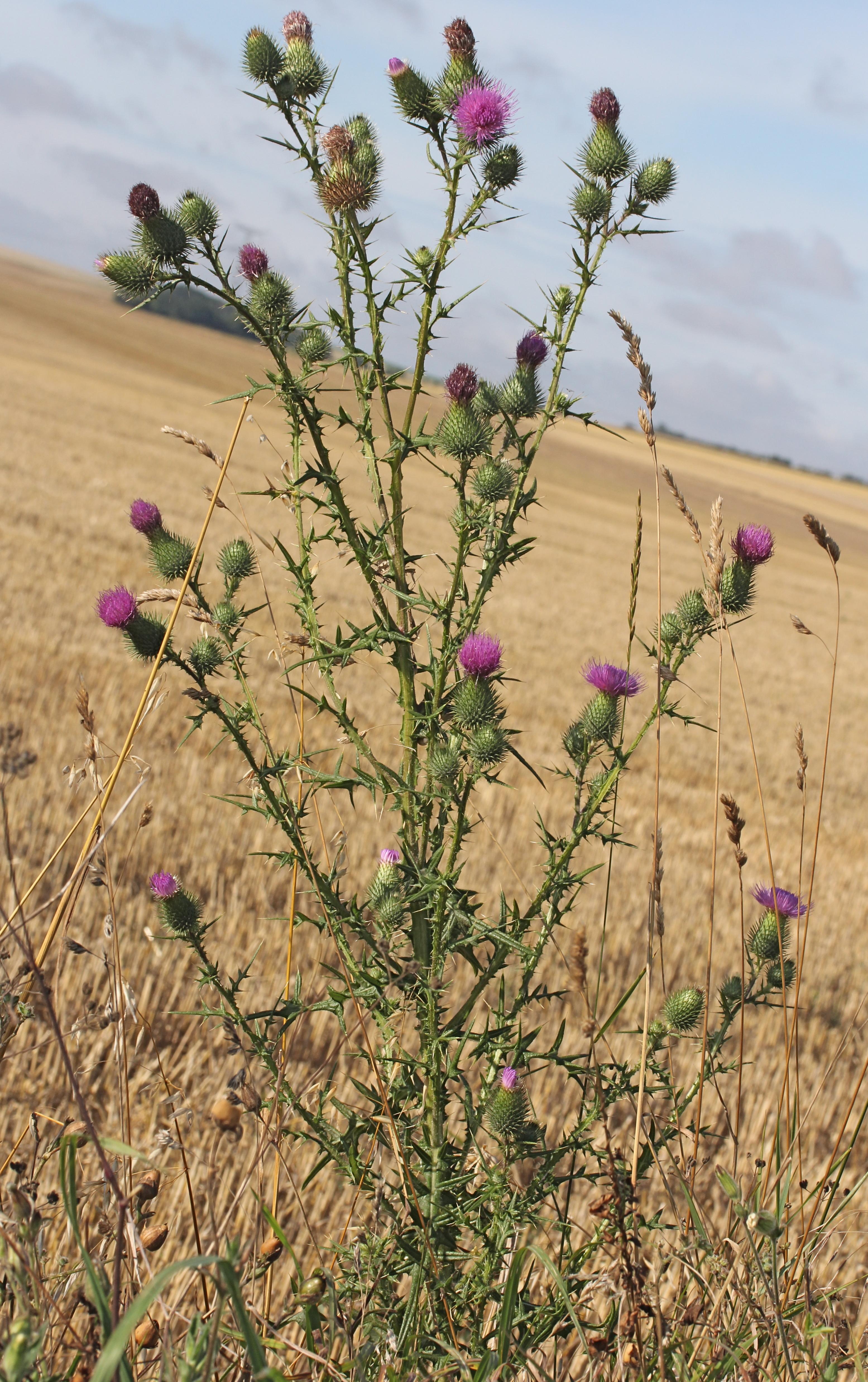 http://api.tela-botanica.org/img:000259078O.jpg