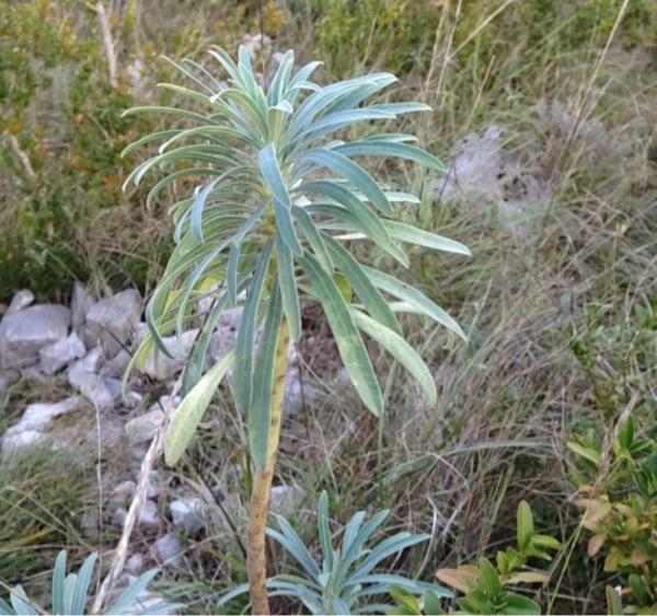 Euphorbia characias ou E. nicaensis ? [id. non terminée] Img:000267832O