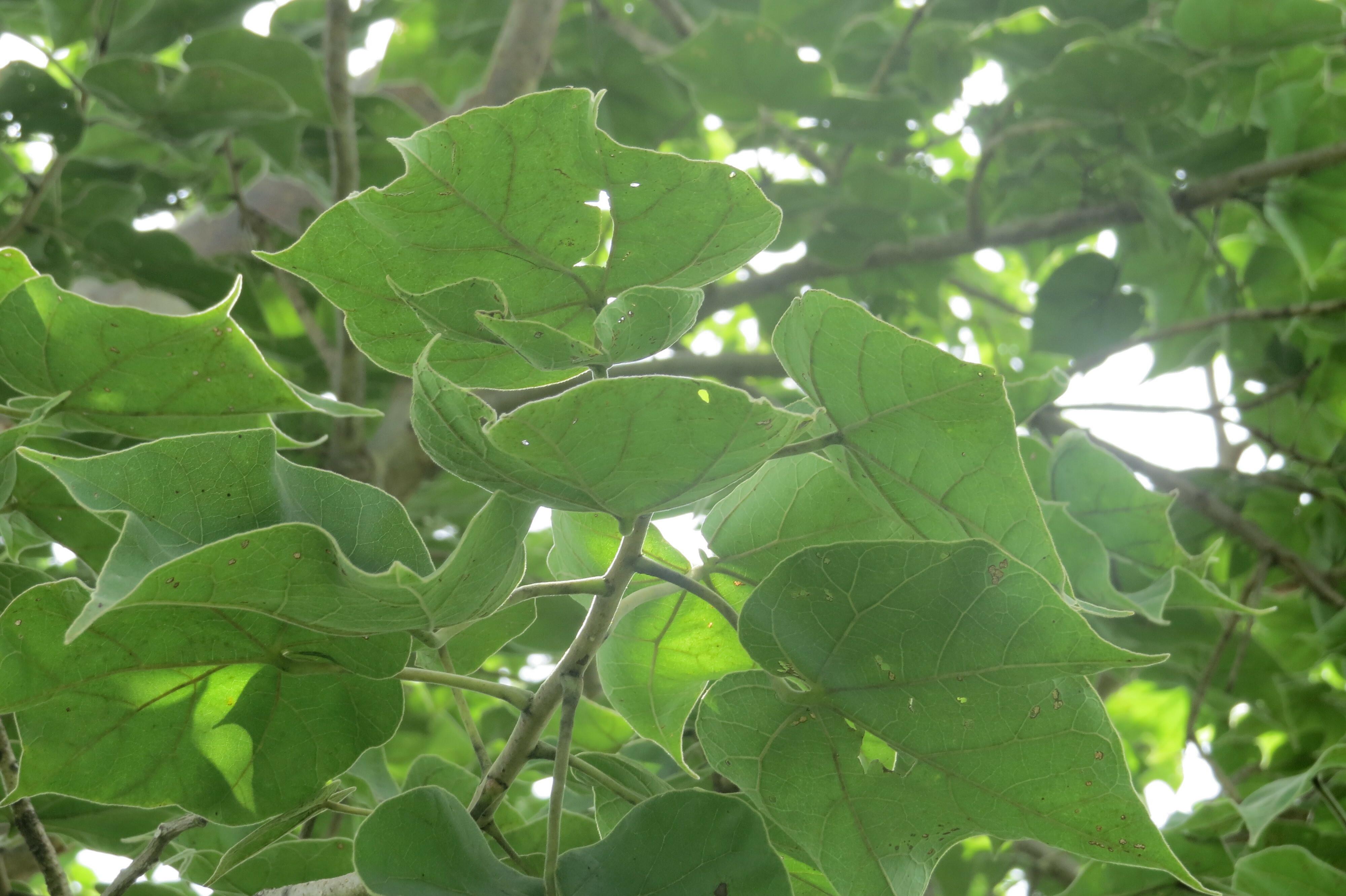 Ma feminite bien etre le secret des plantes africaines 2nde partie - Plante a la gomme ...
