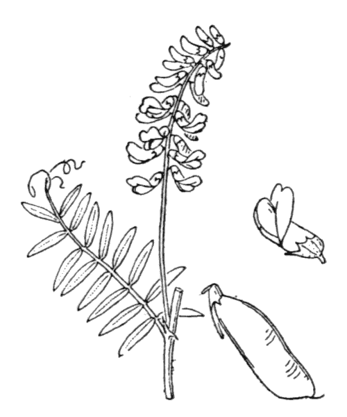 Vicia cracca L. - illustration de coste