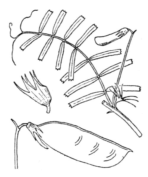 Ervilia articulata (Hornem.) H.Schaefer, Coulot & Rabaute - illustration de coste