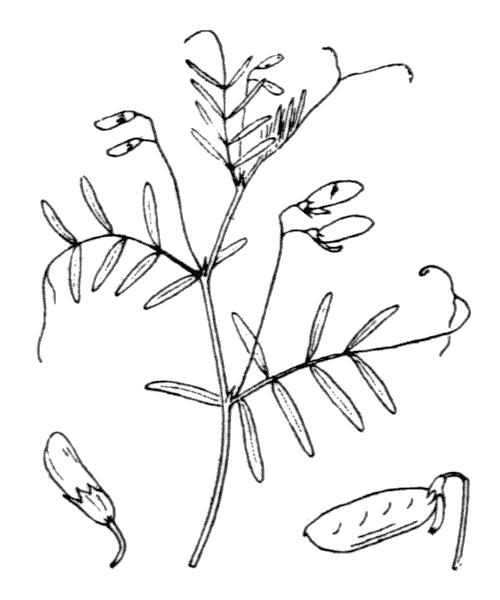 Ervum tetraspermum L. - illustration de coste