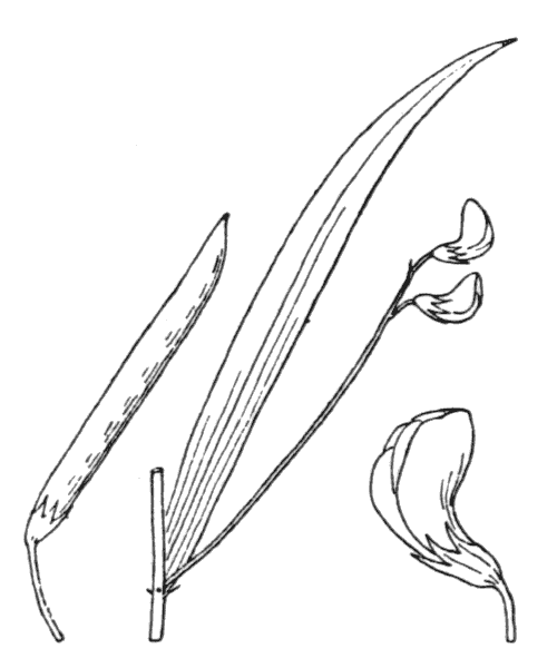Lathyrus nissolia L. - illustration de coste