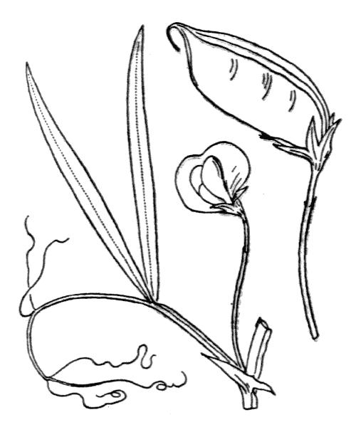 Lathyrus sativus L. - illustration de coste