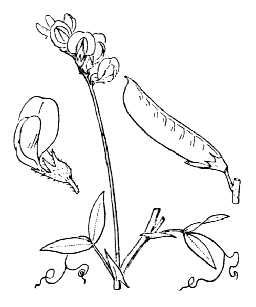 Lathyrus pratensis L. - illustration de coste