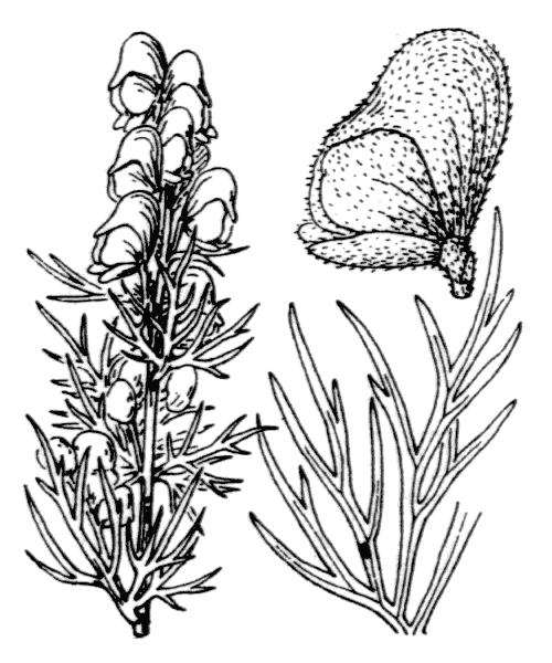 Aconitum anthora L. - illustration de coste