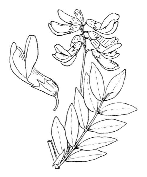 Lathyrus ochraceus Kitt. subsp. ochraceus - illustration de coste