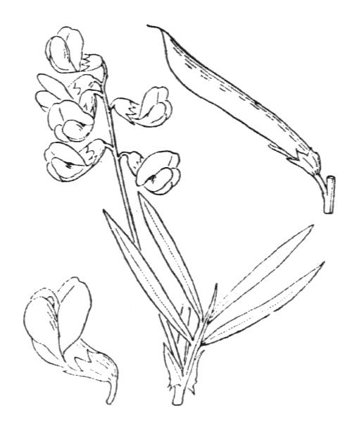 Lathyrus pannonicus (Jacq.) Garcke var. pannonicus - illustration de coste