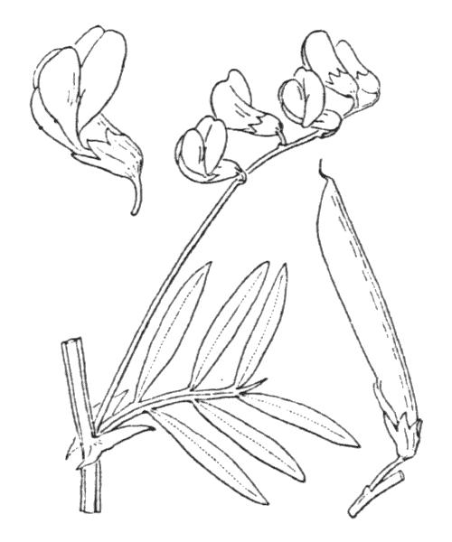 Lathyrus linifolius (Reichard) Bässler f. linifolius  - illustration de coste