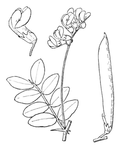 Lathyrus niger (L.) Bernh. - illustration de coste