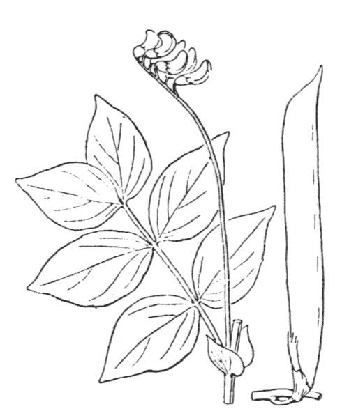 Lathyrus venetus (Mill.) Wohlf. [1892] - illustration de coste