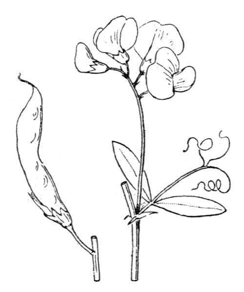 Lathyrus tuberosus L. [1753] - illustration de coste