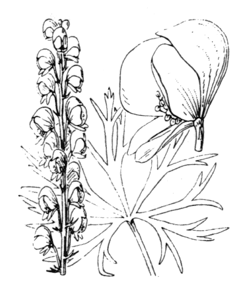Aconitum napellus L. - illustration de coste