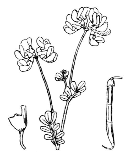 Coronilla minima L. - illustration de coste