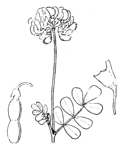 Coronilla glauca L. - illustration de coste