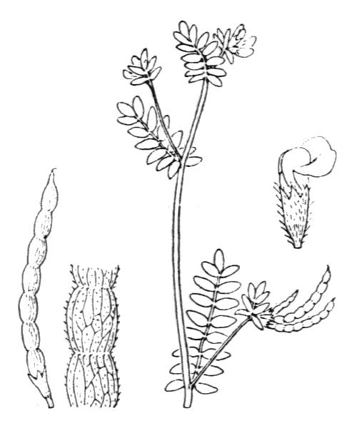 Ornithopus perpusillus L. - illustration de coste