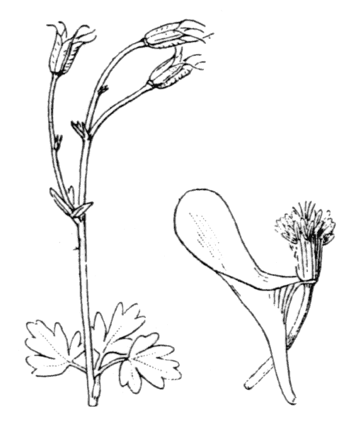 Aquilegia bernardii Gren. - illustration de coste