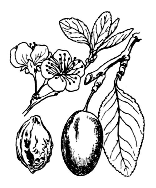 Prunus domestica L. [1753] - illustration de coste