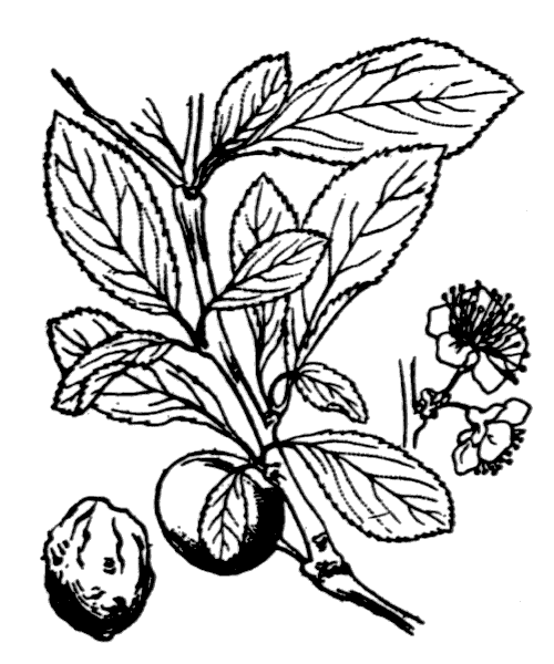 Prunus x fruticans Weihe - illustration de coste