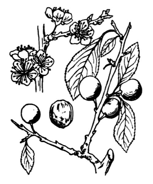Prunus spinosa L. - illustration de coste