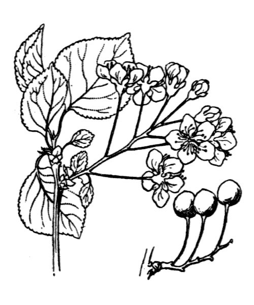 Prunus mahaleb L. [1753] - illustration de coste