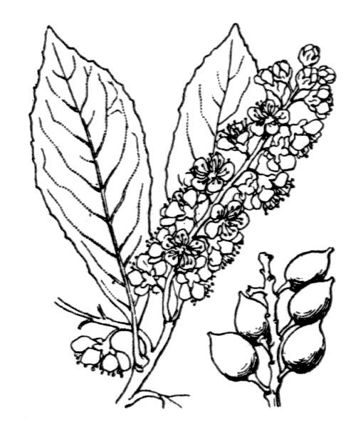 Prunus laurocerasus L. - illustration de coste