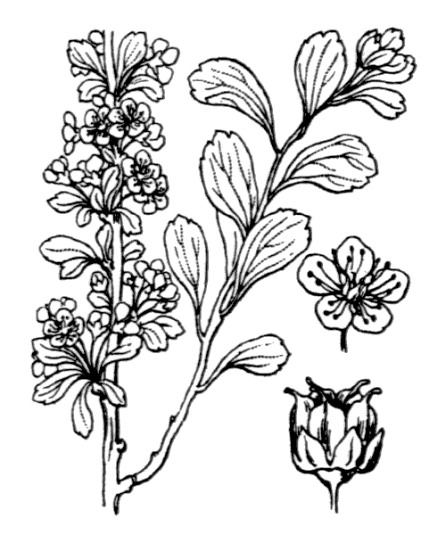 Spiraea hypericifolia subsp. obovata (Waldst. & Kit. ex Willd.) H.Huber [1964] - illustration de coste