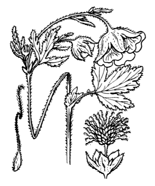 Geum rivale L. [1753] - illustration de coste