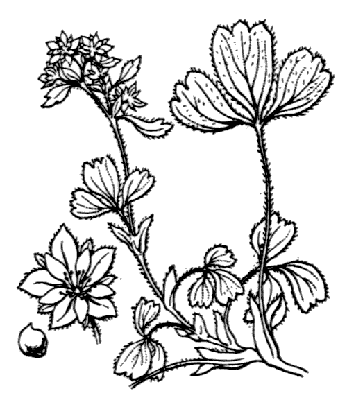 Sibbaldia procumbens L. - illustration de coste
