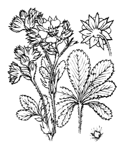 Potentilla valderia L. - illustration de coste