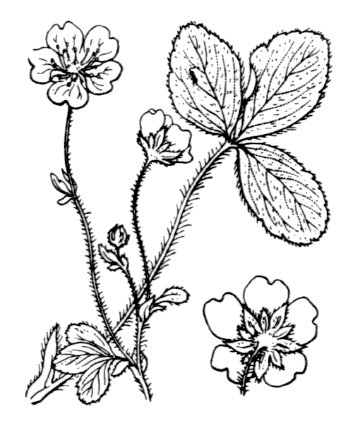 Potentilla montana Brot. - illustration de coste