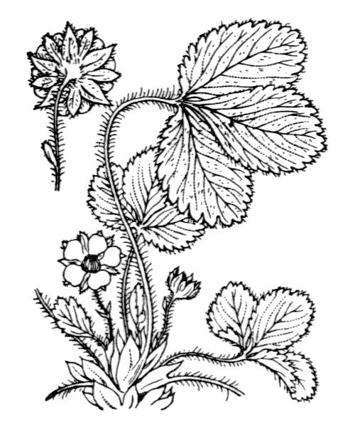 Potentilla micrantha Ramond ex DC. - illustration de coste