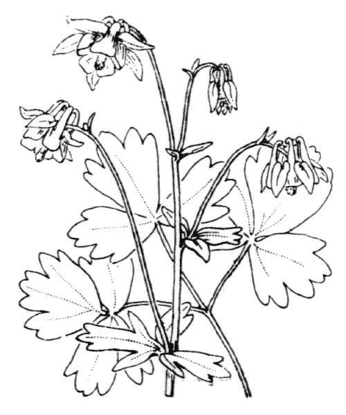 Aquilegia vulgaris L. - illustration de coste
