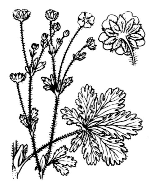 Potentilla thuringiaca Bernh. ex Link [1822] - illustration de coste