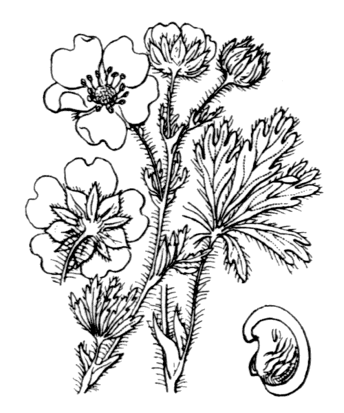 Potentilla hirta L. - illustration de coste