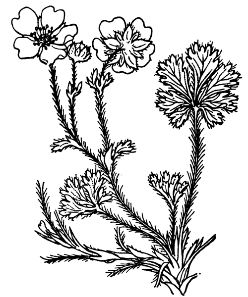 Potentilla verna L. - illustration de coste