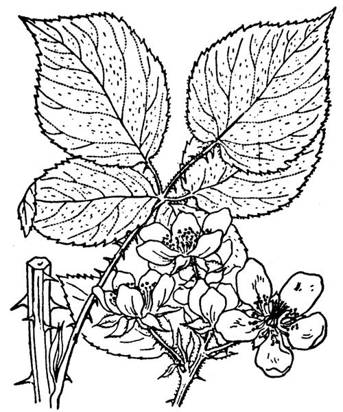 Rubus fruticosus L. - illustration de coste