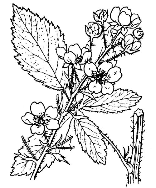 Rubus canescens DC. - illustration de coste