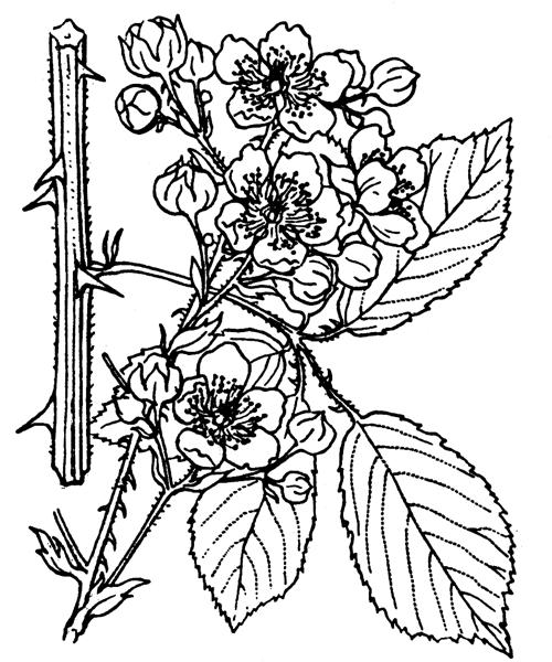 Rubus ulmifolius Schott - illustration de coste