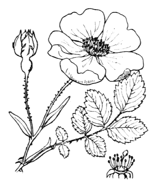 Rosa arvensis Huds. - illustration de coste