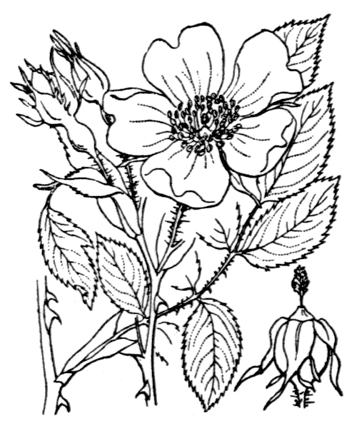 Rosa stylosa Desv. - illustration de coste