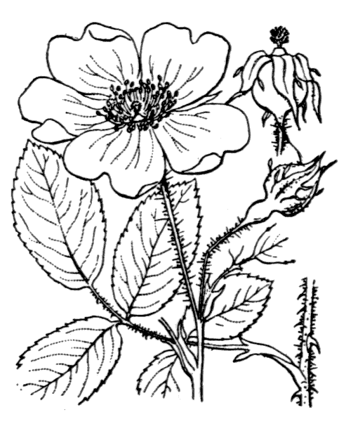Rosa gallica L. - illustration de coste