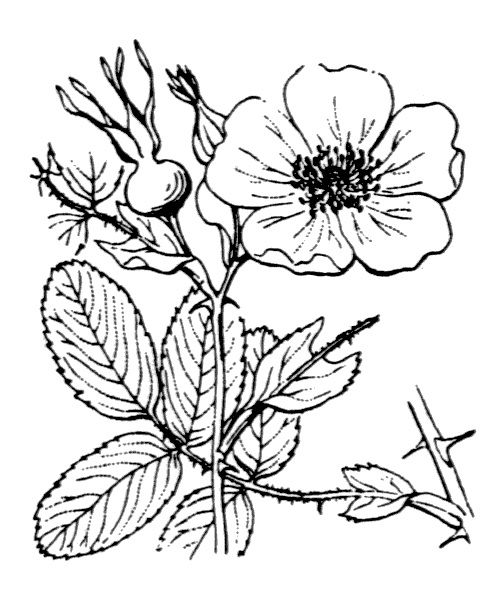 Rosa cinnamomea L. [1753] - illustration de coste