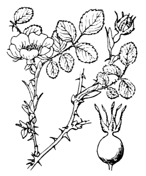 Rosa sicula Tratt. - illustration de coste