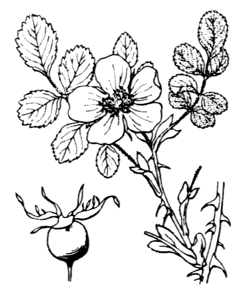 Rosa seraphinii Viv. [1824] - illustration de coste