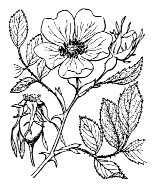 Rosa agrestis Savi [1798] - illustration de coste