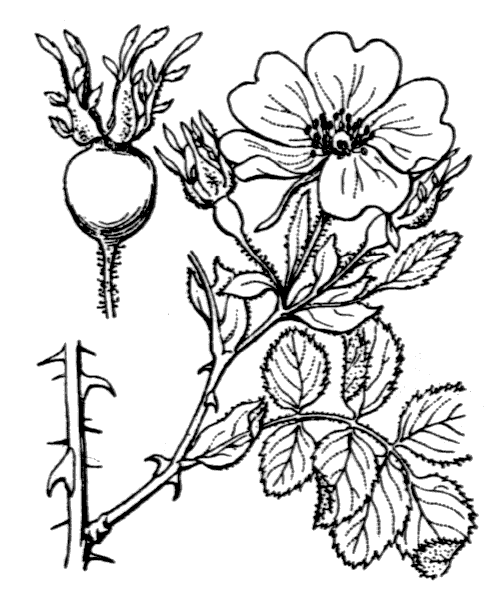 Rosa rubiginosa L. - illustration de coste